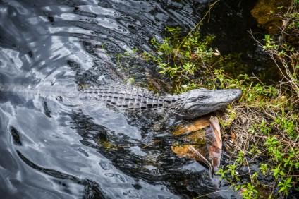 Crocodile aux Everglades