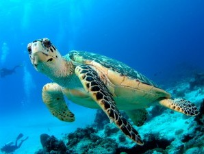Koh-Tao-White-Rock-Green-Turtle-300x225-20476_298x225