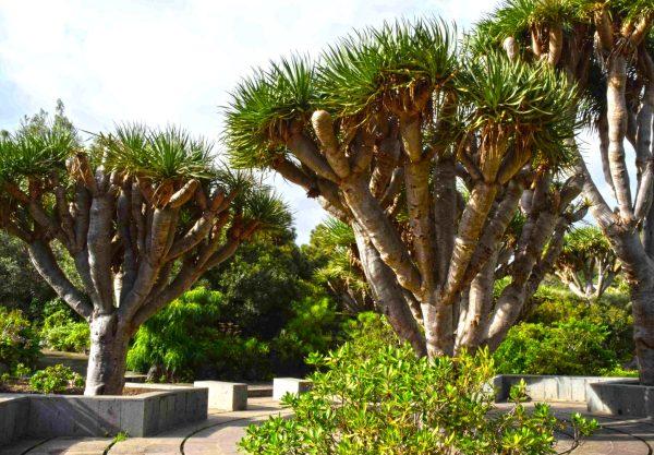 Dracaena draco trees 24