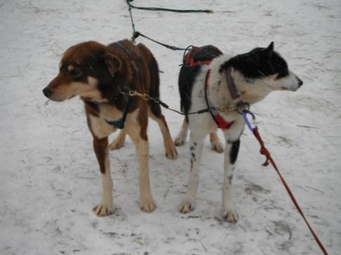 Dog sledding at Muddy Paw in Jefferson NH