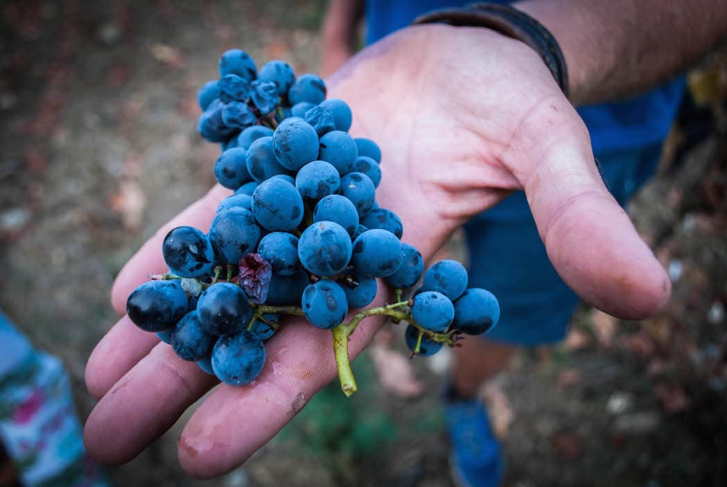 wine grapes in a hand Harvest