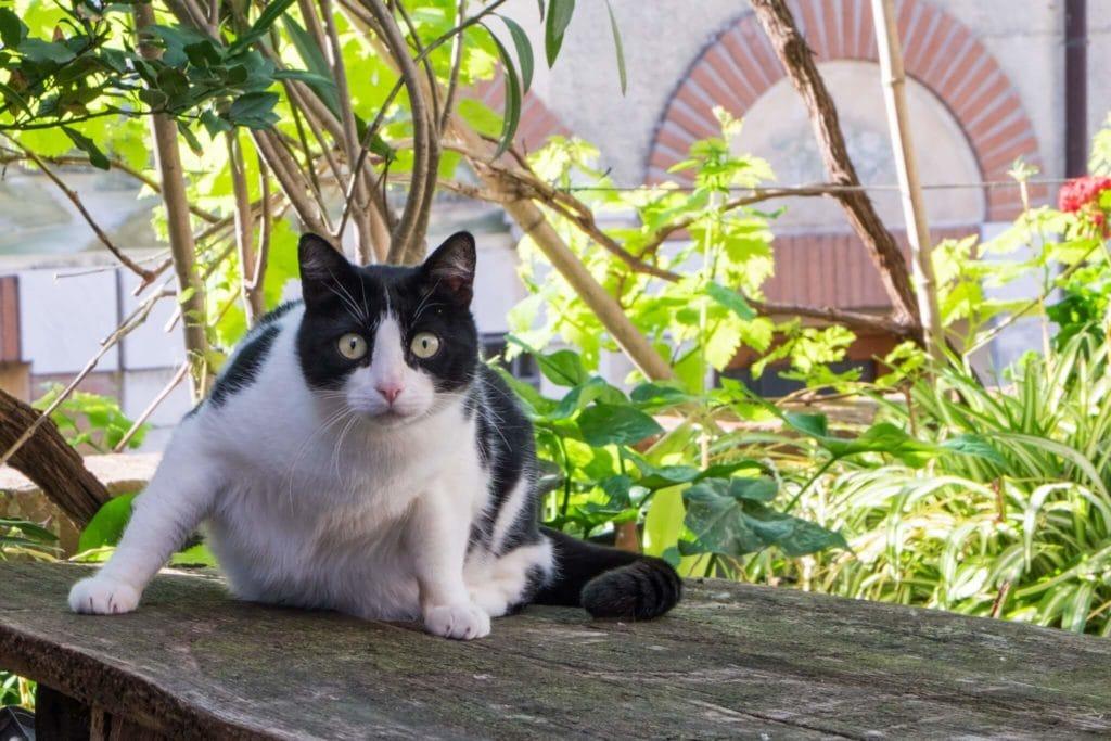 Monteggiori the cat