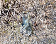 Gotcha...roadside monkey...