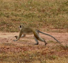 Monkey spotted by the roadside at Vellamullivaikal...