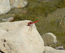 A very red dragonfly...