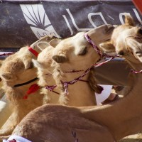 Photo 101, Weekend three: Camel racing....