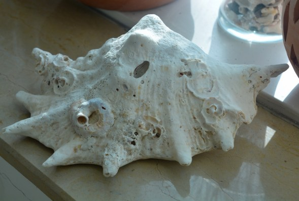 Bashed, calcified, growths of worm shells on its surface, this old man of the sea came home too...