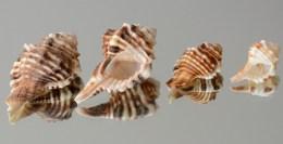 Cymatium (Ranularia) trilineatum.Found in the Northern Gulf, South-east Gulf,Gulf of Oman and Masirah island. Up to 65mm.