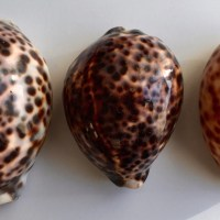 A to Z Challenge: C is for Cowries…
