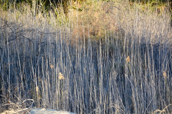 Wetland rushes...