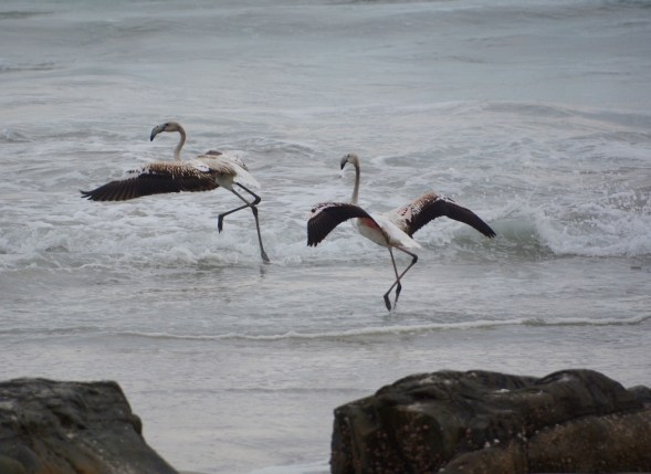 Flamingos dancing in the waves....