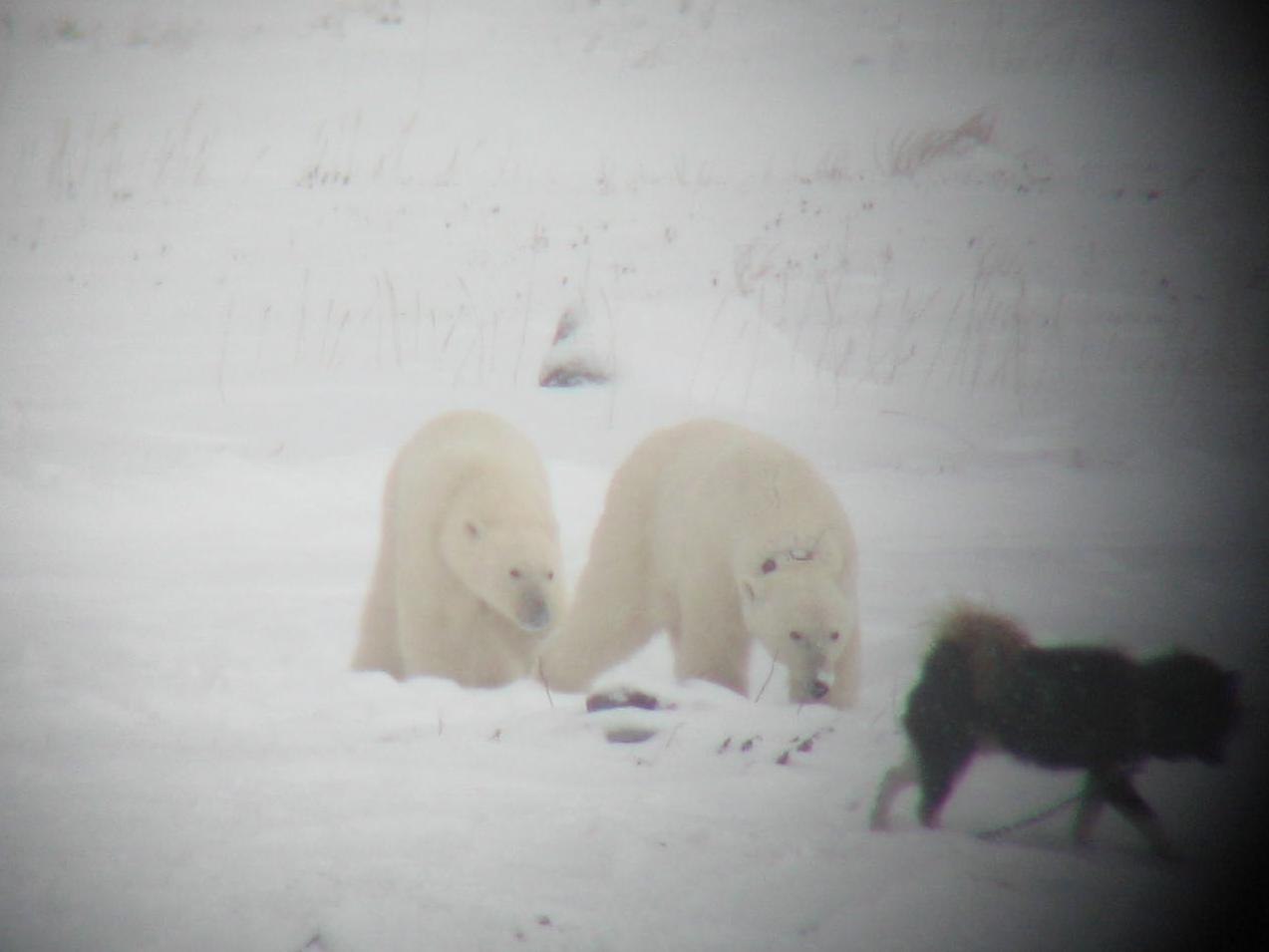 Good friends. Polar bears and dog at play