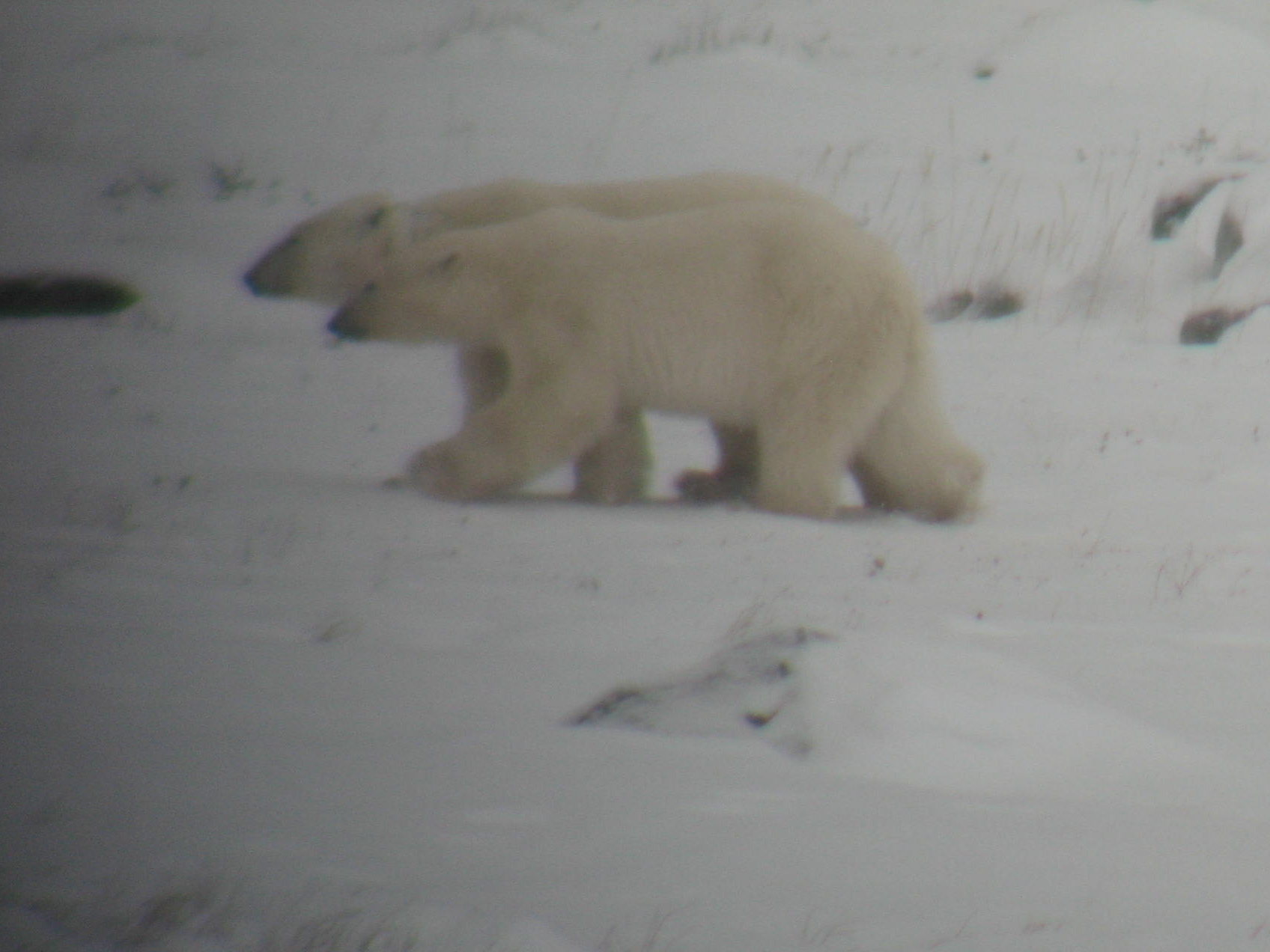 Polar bears crossing the Tundra, on their way to play with sled dogs
