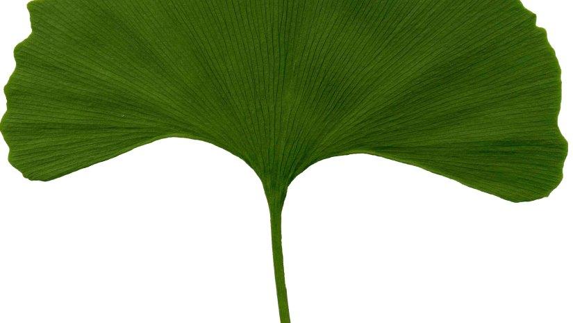 Ginkgo biloba mytree ginkgo bilobaemilioflacofunkyfusinginkgoherbshistoryjapanesejuandilunatiquemariomedicinememorymihairocksciencevideoclip2347views 2comments altavistaventures Choice Image