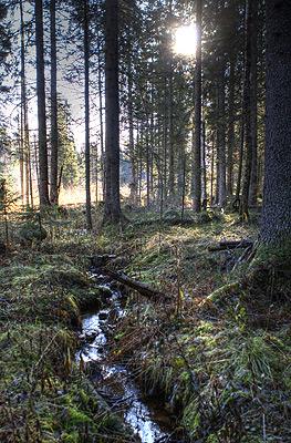 En liten bäck i den fina granskogen. Solen står lågt numera.