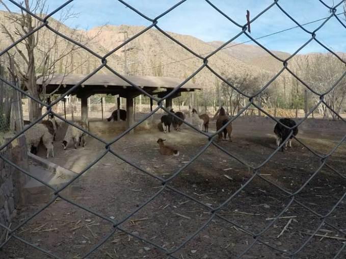 llama-stable