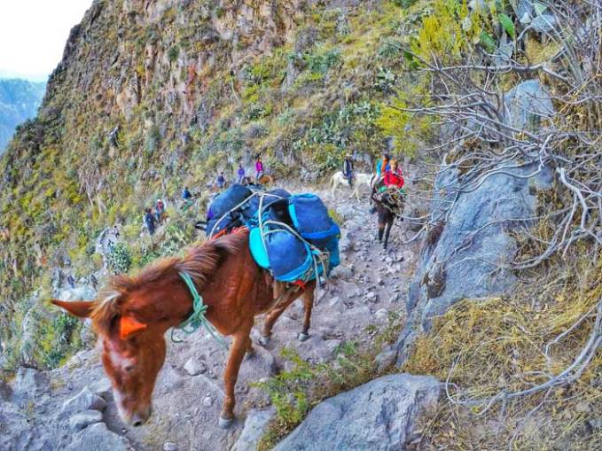 mules-in-colca-canyon
