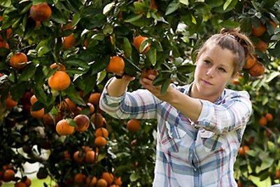 student picking oranges