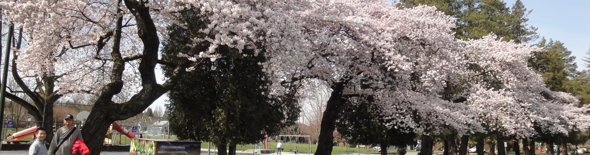 溫哥華旅遊溫哥華賞櫻染井吉野櫻Somei-Yoshino Cherry Blossom 東京吉野櫻