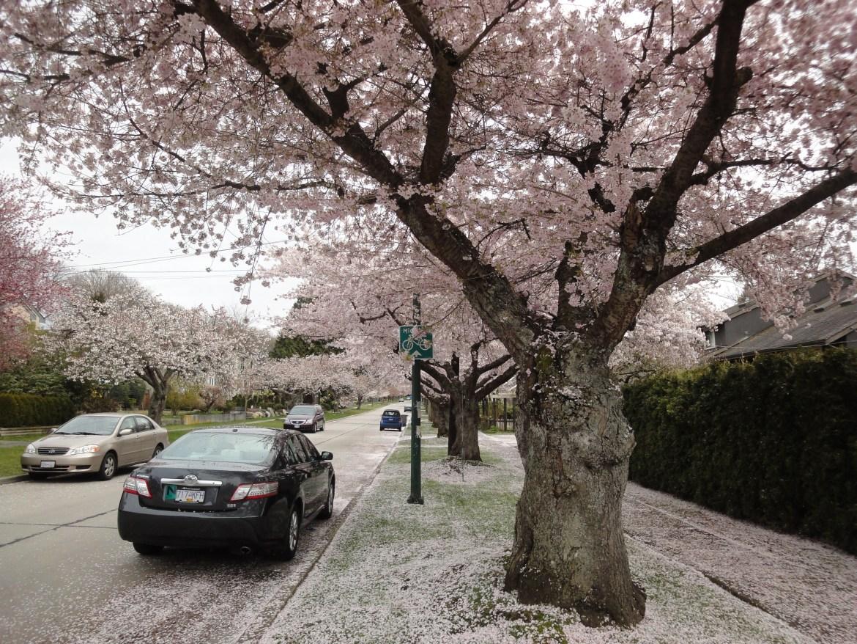 溫哥華櫻花賞 一次賞盡7種櫻花 @Dunbar