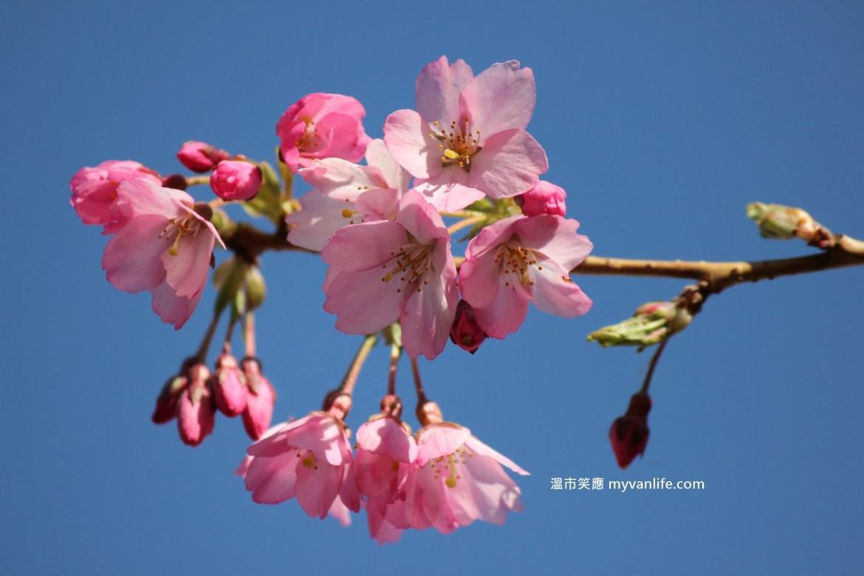 溫哥華櫻花賞|春深了,賞櫻的工具準備好了嗎?