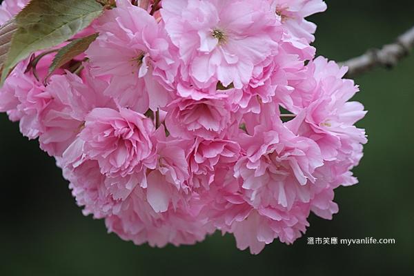 IMG_1915關山櫻