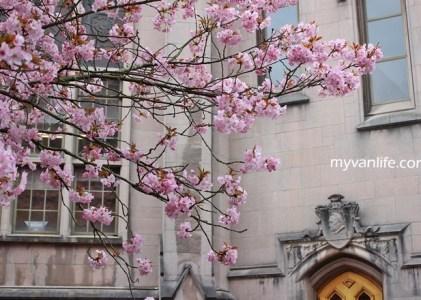 西雅圖賞櫻|西雅圖華盛頓大學校園裡的無邊春色