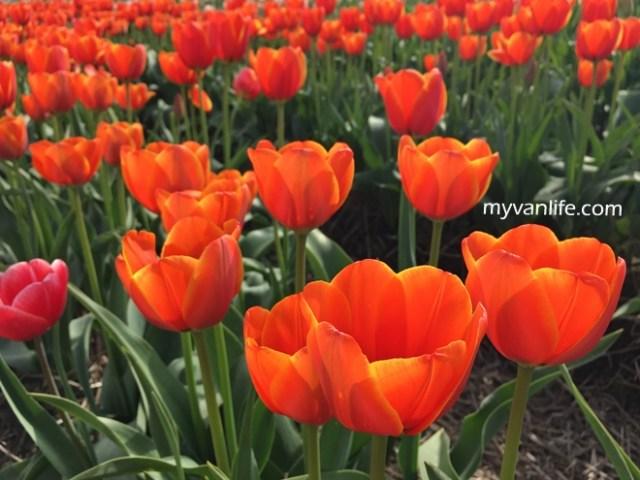 flowerRIMG_6590Abbostfordtulip