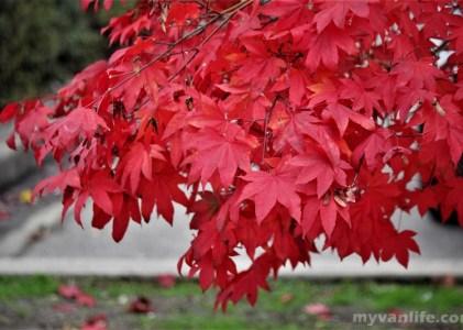 溫哥華旅遊|在布洛內灣北岸,那一場與秋色的豔遇