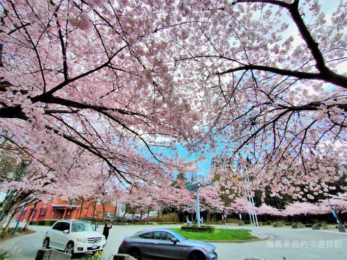 溫哥華旅遊推薦溫哥華賞櫻 Port Moody 滿地寶圖書館美國曙櫻 Akebono