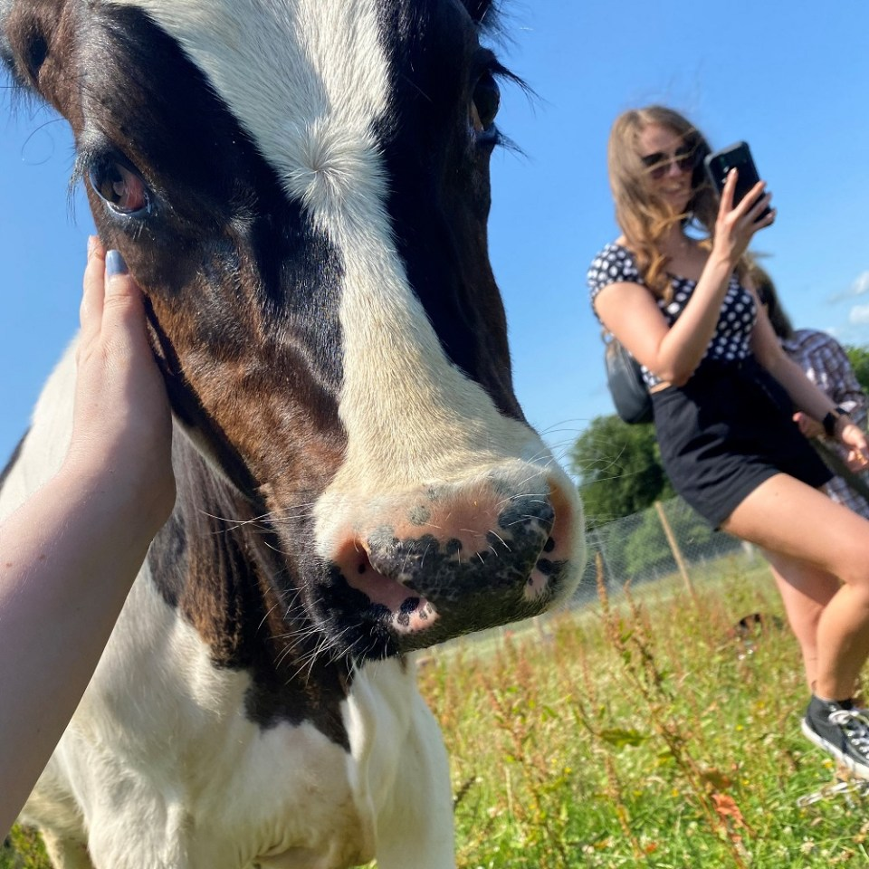 cow rescue sanctuary scotland