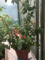 Tomato Minibel Plant in Polytunnel 2019
