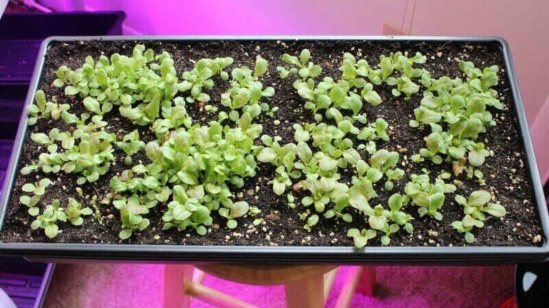 growing lettuce indoors seedlings