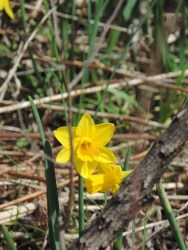 you will even find daffodils blooming in the prairie!