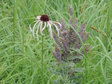 Purple Coneflower and Lead Plant
