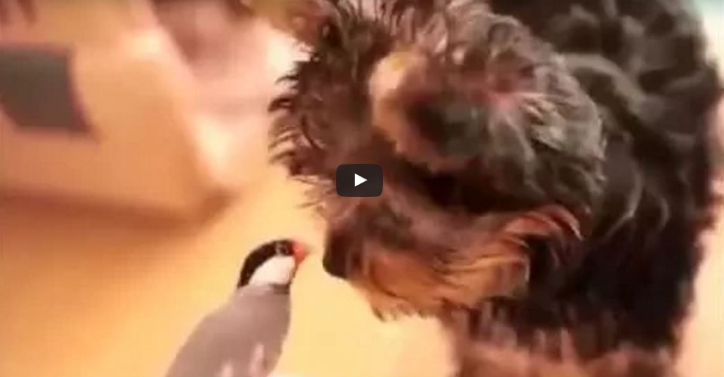 Yorkshire Terrier Makes A New Friend With A Bird