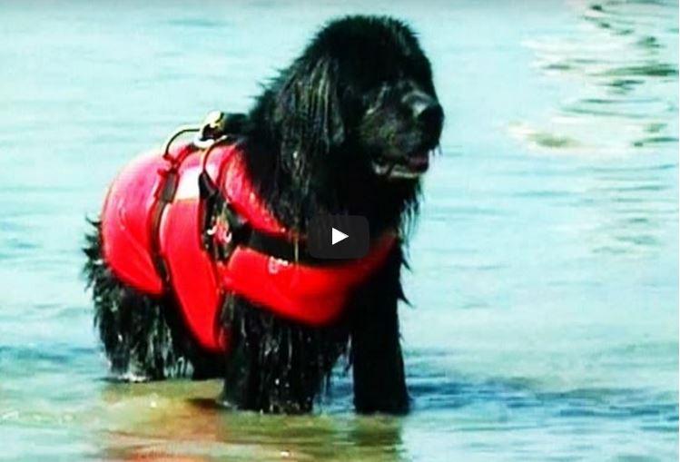 Newfoundland (dog)