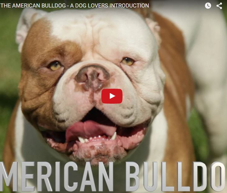 Dogs: American Bulldog