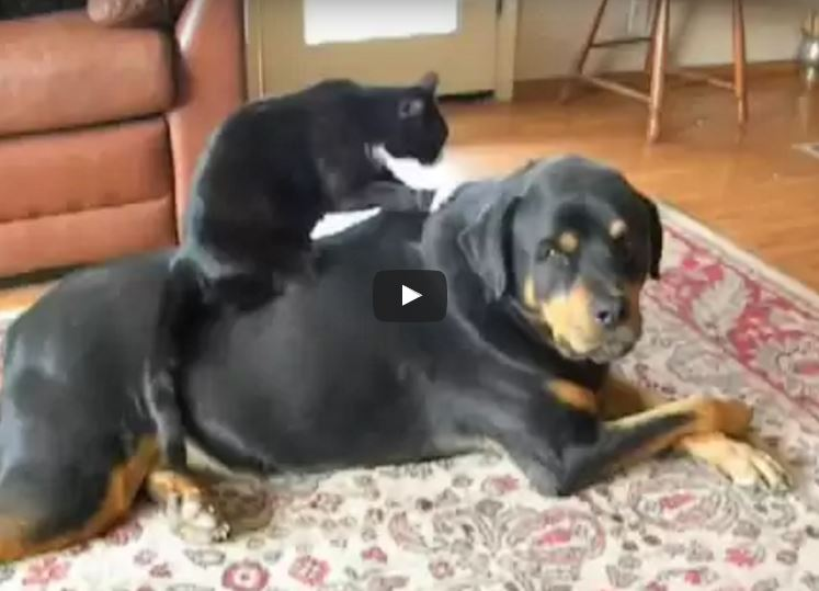 Choosing A Rottweiler Breeder