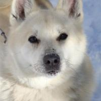 Breeders: Norwegian Buhund
