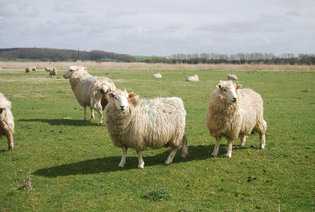 Romney Sheep