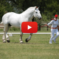 Percheron: Known For Its Strength, Intelligence, And Work