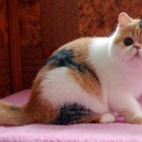 Breeders: Exotic Shorthair Cat