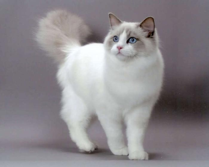 Breeders: Ragdoll Cat