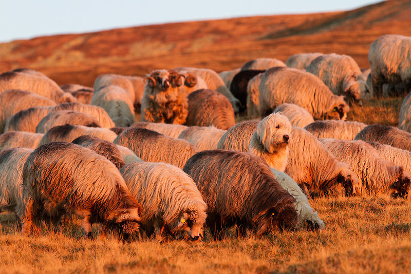 Breeders: Romanian Mioritic Shepherd