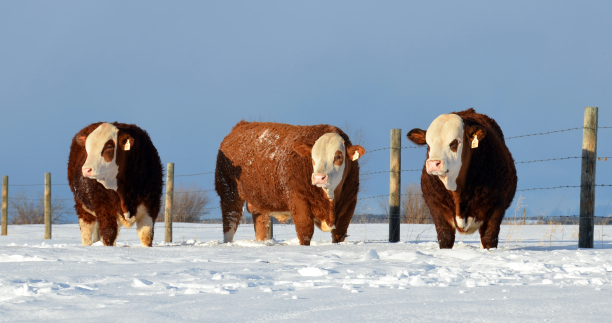 Breeders: Simmental