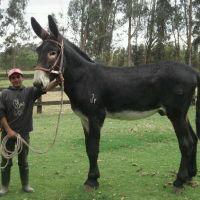 Breeders: American Mammoth Donkey