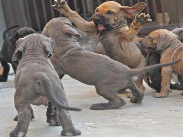Breeders: Fila Brasileiro