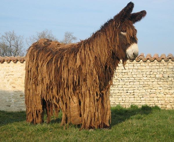Breeders: Poitou Donkey