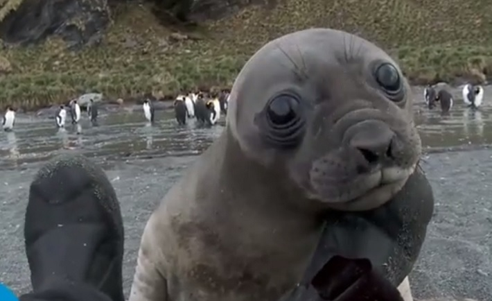 Watch how this man is brutally attacked by a baby Elephant Seal with its love!